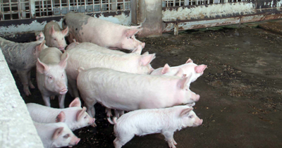 Almanya'da domuz etlerinde hepatit E virüsü bulundu