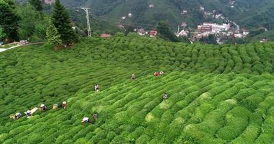 Türk çayı en çok Almanya'ya ihraç edildi